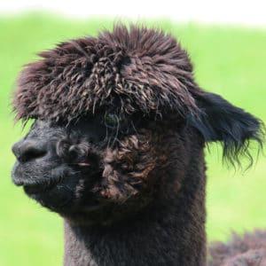 Alpakastute ACR Inca