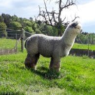 Inca Grey Flyte Santorin