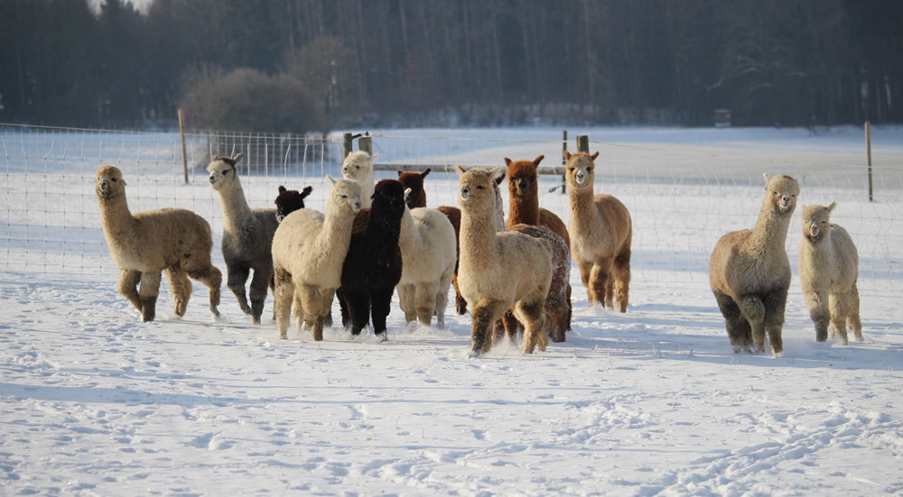 Alpakafohlen im Schnee
