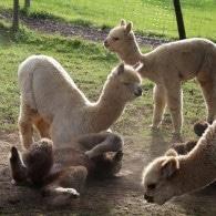 Alpakas von Alpacolor
