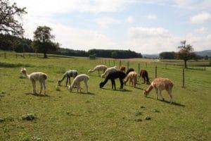 Alpaka auf der Weide