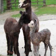 Alpakastütchen ACR Bijou mit Mama und Halbschwester ACR Nikita