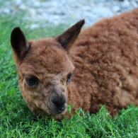 Alpakafohlen 2016 ACR Gambolo