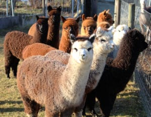 Alpaka-Verkaufstiere