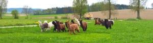 Alpakajunghengste zu verkaufen