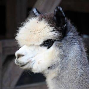 Alpakastute Inca Eloise