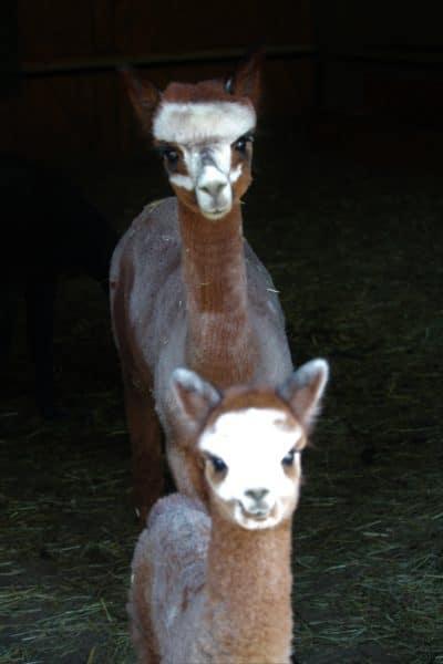 Alpakastute ACR Doreen mit Vollschwester