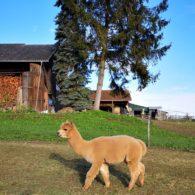 Alpakahengste bei Alpacolor