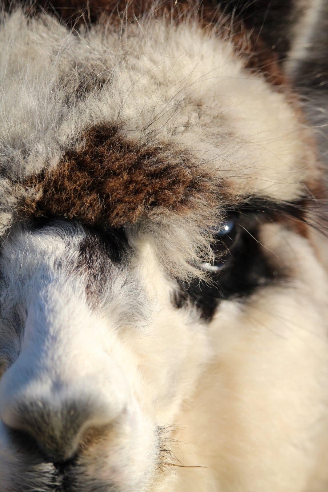 Alpakas bei Alpacolor
