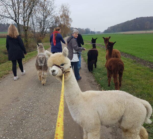 Alpaka-Spaziergang