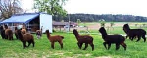 Alpacolor-Verkaufstiere
