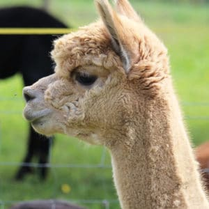 Deckhengst Alpacaland Paco