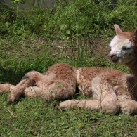 Alpakafohlen 16 ACR Ragusa